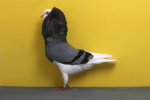 champion_pigeon-1.jpg