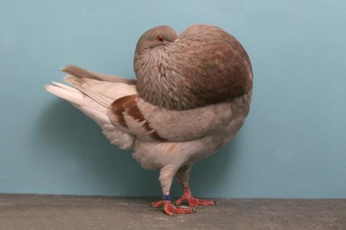 champion_pigeon-2.jpg