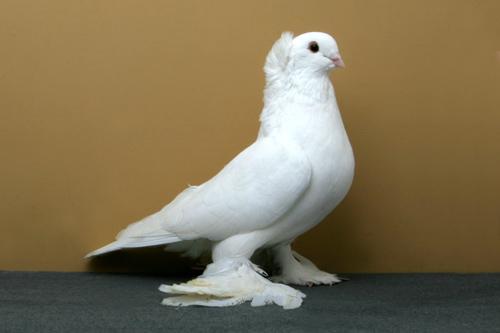 champion_pigeon-4.jpg