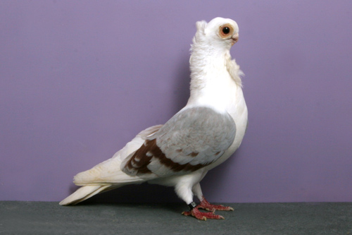 champion_pigeon-5.jpg