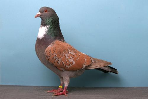 champion_pigeon-6.jpg